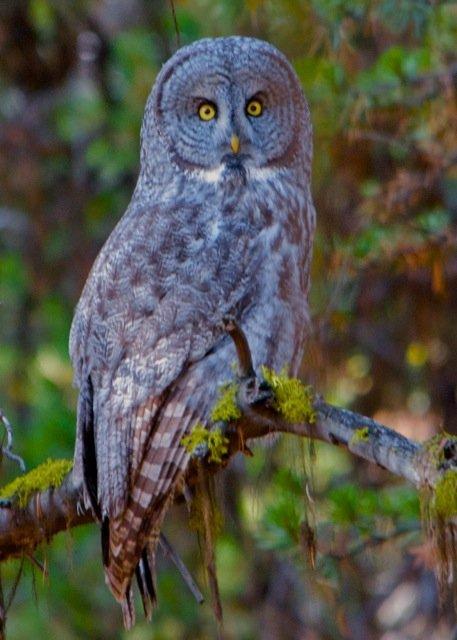 2014-01 C 2 Bob Berthier - Great Gray Owl.jpg