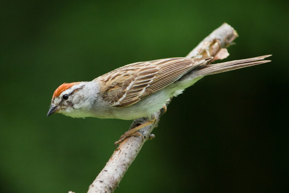 2014-09_PRINT_Sandy-Schill-Chipping-Sparrow-1024x683.jpg