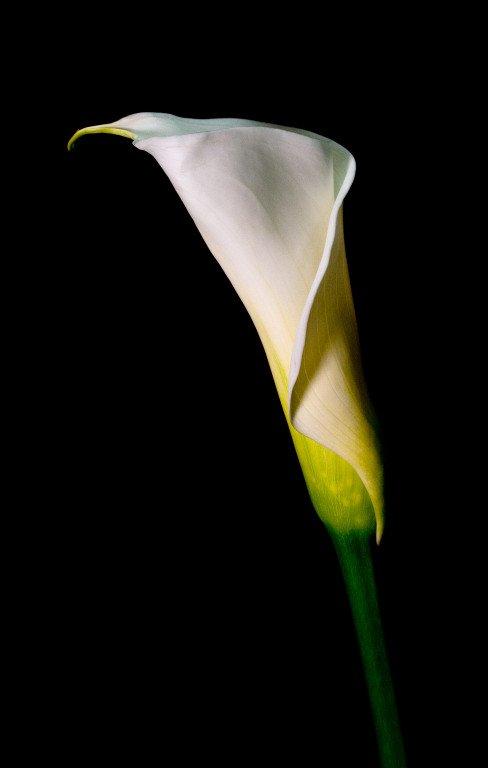 Sandy-Schill-+-Cala-Lily-+-6043-488x768.jpg