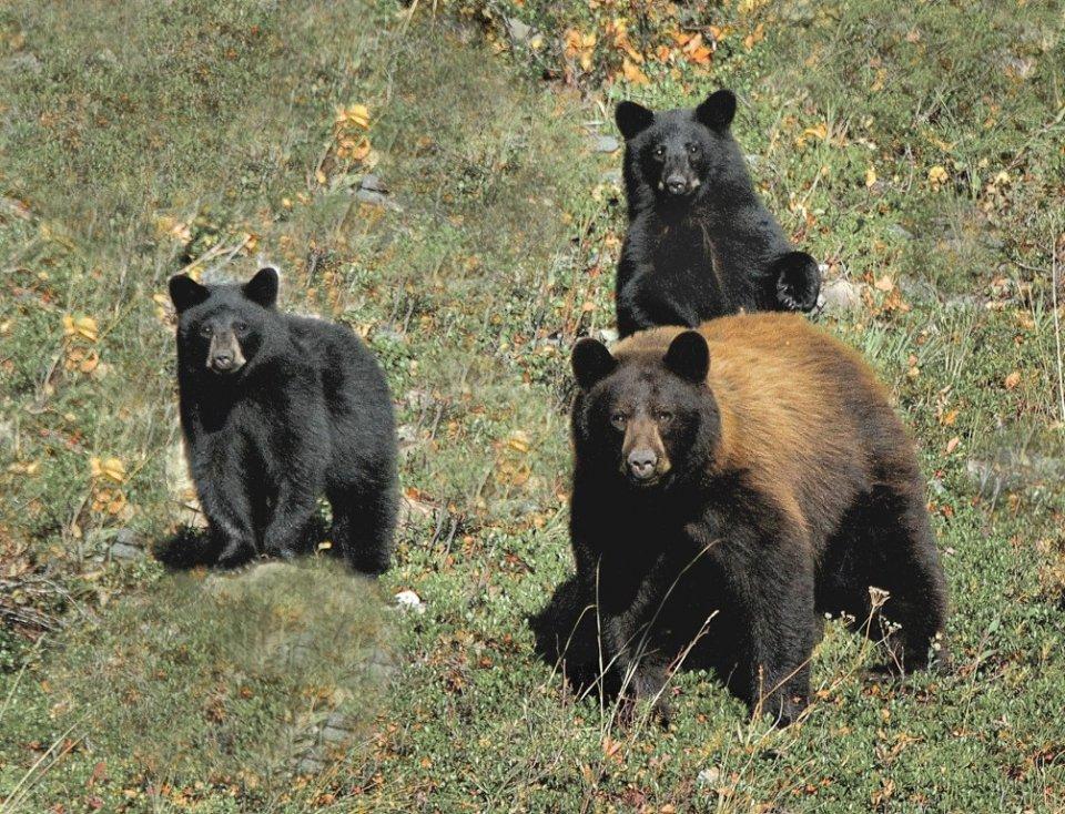 2015-01_DIGITAL_Bob-Berthier_TITLE_Cubs-and-Sow-Glacier_END_-1004x768.jpg