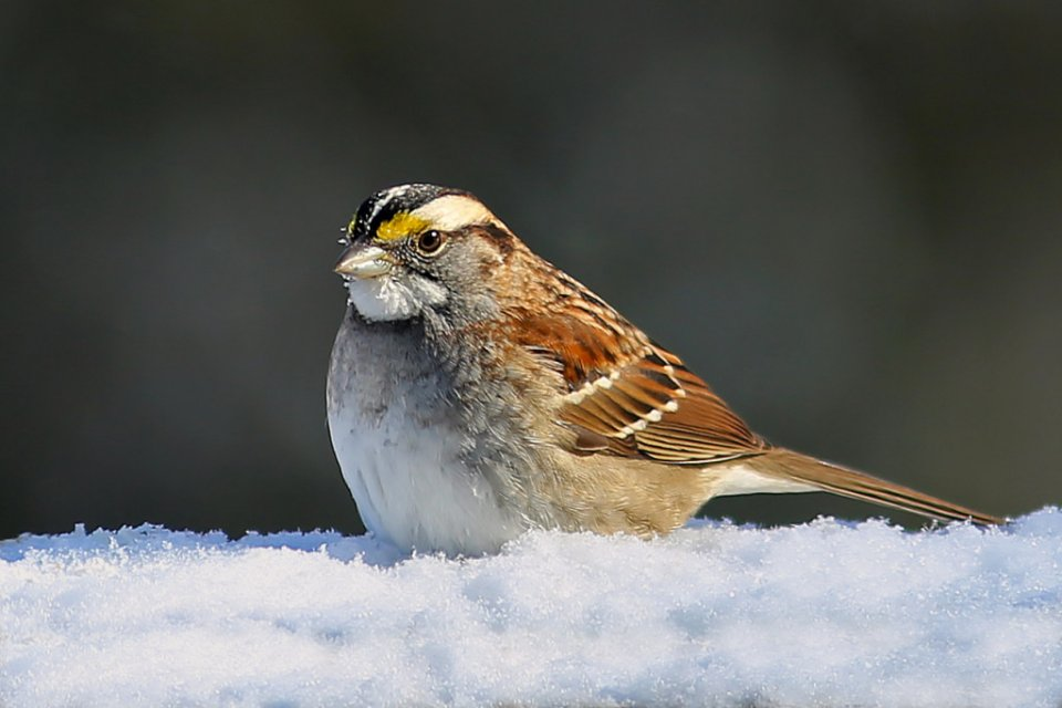2015-03_DIGITAL_Rhonda-Cullens_White-throated-Sparrow-1024x683.jpg