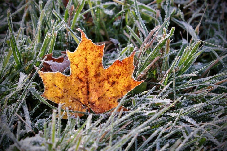 2015-10_PRINT_Linda-Lubinsky_First-Frost-1024x682