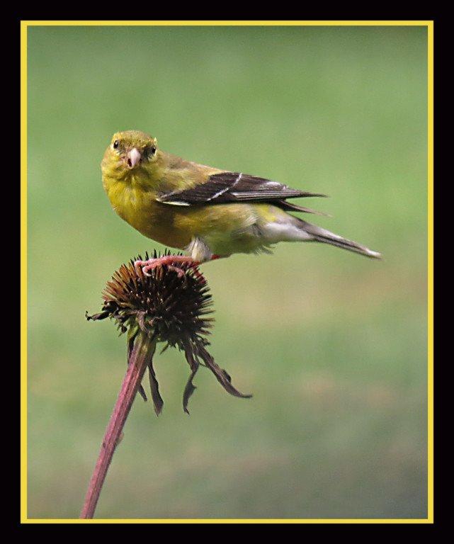 2014-04_PRINT_Info-_Jim-Talarino-Feeding-Goldfinch-641x768.jpg