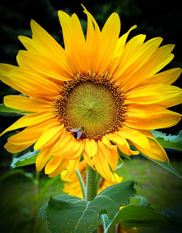 sunflower-with-bee-verticle-3-7116c8d9d891b336b002528aeef42a9f15a04f52