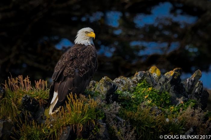 Bald Eagle-Sitka, Alaska