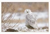 Snowy Snowy Owl