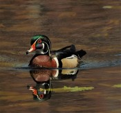 A very handsome wood duck