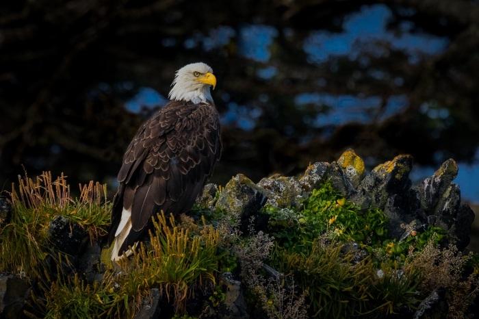 Bald Eagle-Sitka Alaska