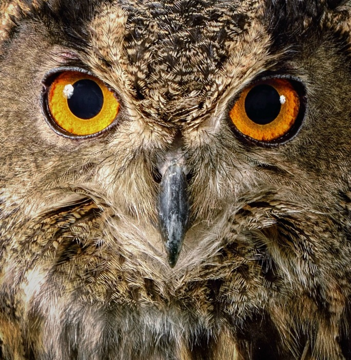 Eye of the Eagle Owl