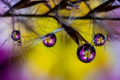 Primrose Droplets