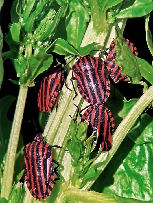 Striped Shield Bugs