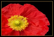 the fragile red poppy