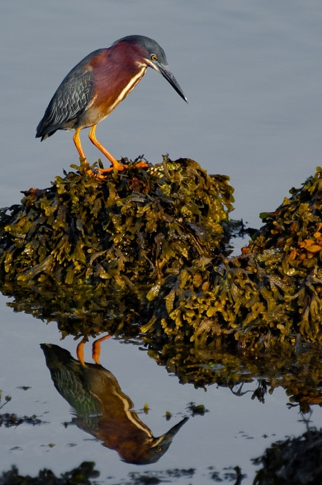 Green Heron in the Mirror