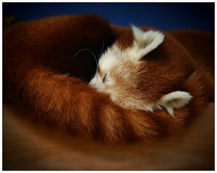 Cuddles the Red Panda