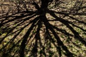 Shadows Beneath the Maple