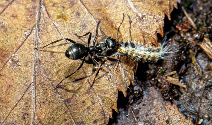 Ant Dragging a Caterpillar