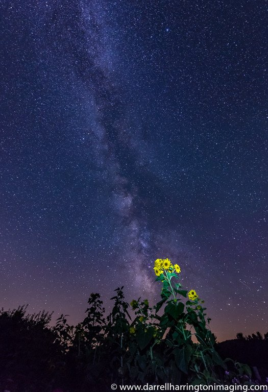 2016-01_PRINT_Darrell-Harrington_Sunflower-by-day-stargazer-by-night-525x768
