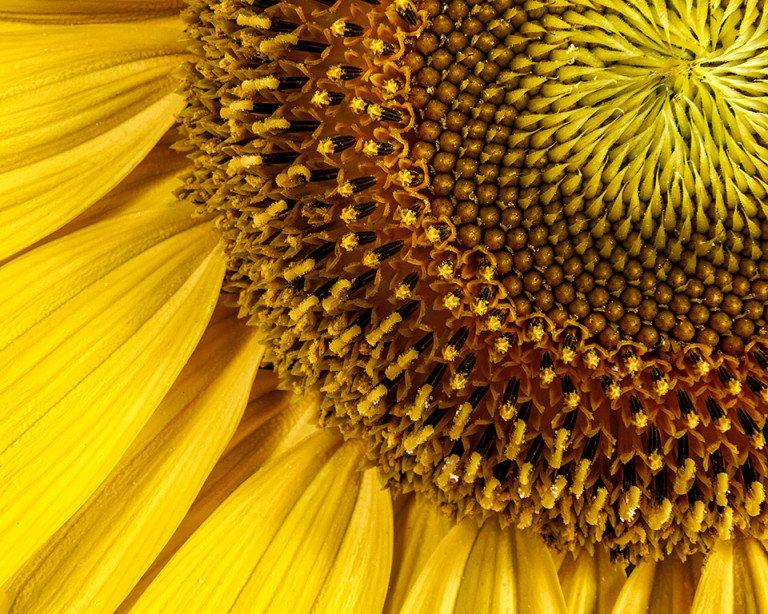 2016-01_PRINT_Rick-Tyrseck_Sunflower-768x614