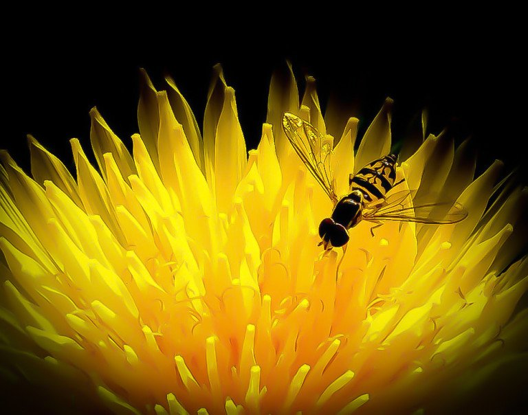 2016-01_PRINT_Sue-Bonacci_-the-dandelion-and-bee-768x604