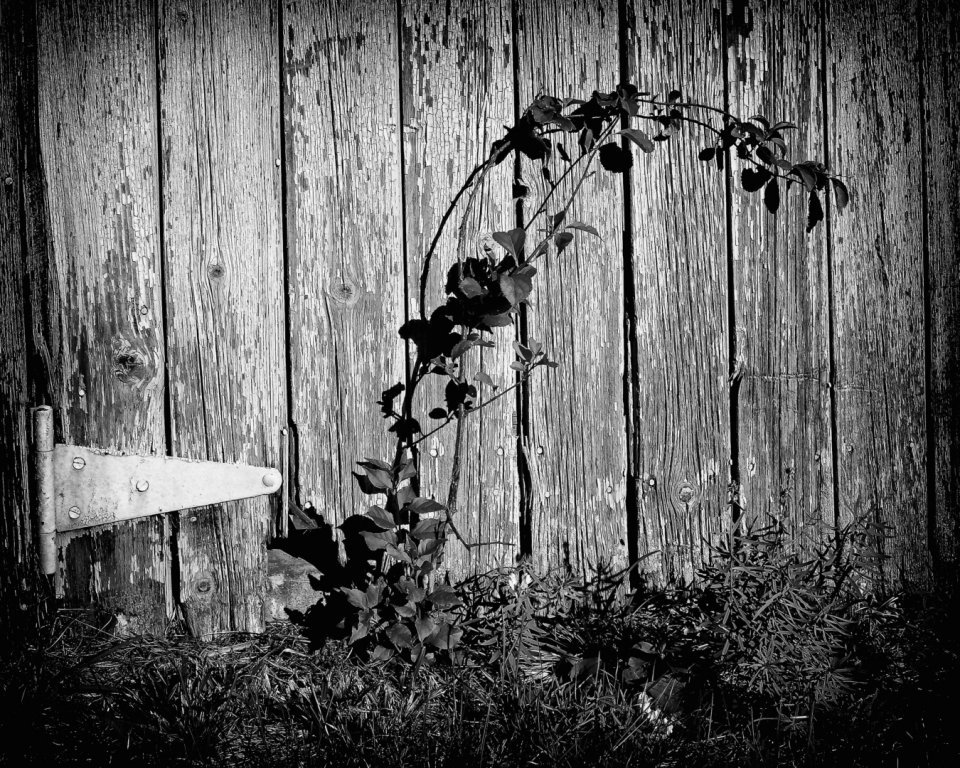 2017-03_Print_Rhonda-Cullens_Barn-Door-with-Vine-1350x1080