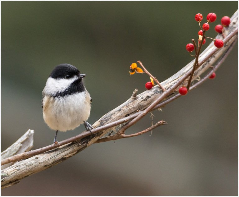 2017-04_DigitalA8_Sandy-Schill_Chickadee-and-berries-768x634