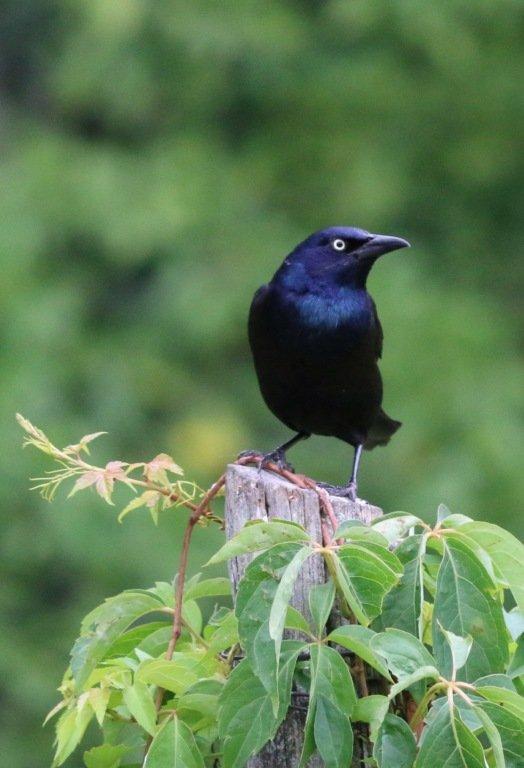 2017-04_Print_Elouise-Heege_Brewers-Blackbird-1-524x768