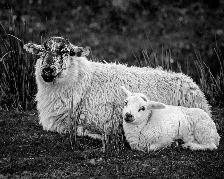 2017-05_Print_Rhonda-Cullens_Lambing-Season-768x614