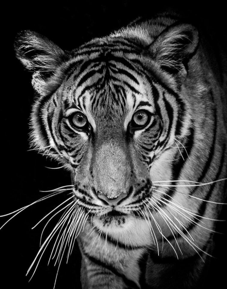 2017-06_Print_Sue-Bonacci_The-Eyes-of-the-Tiger-768x977