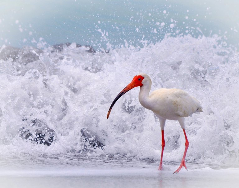 Category Out of the Camera by Sue Bonacci Sarasota Ibis