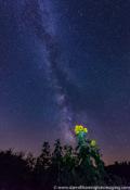 2016-01_PRINT_Darrell-Harrington_Sunflower-by-day-stargazer-by-night