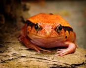 2016-01_PRINT_Rhonda-Cullens_Tomato-Frog