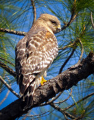 2016-02_PRINT_Sue-Bonacci_Florida-Red-Shoulder-Hawk