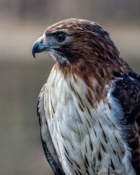 2016-03_PRINT_Rick-Tyrseck_Stare-of-A-Red-Tailed-Hawk