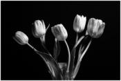 2016-03_PRINT_Sandy-Schill_Tulips