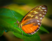 2016-09_Assigned4_Charlie-Batchelder_Tiger-Longwing-Butterfly