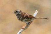 2016-10_DigitalA8_Sandy-Schill_White-Throated-Sparrow